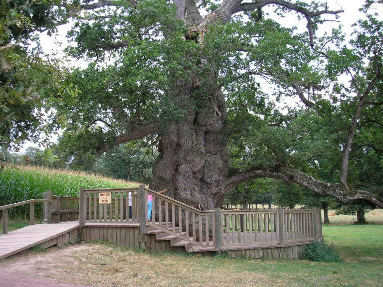 Le Chêne à Guillotin, Brocéliande