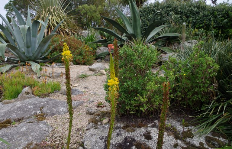 Bulbine alooides jardin botanique roscoff